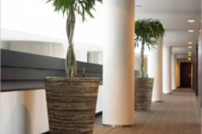 Фикус, как офисное растение
