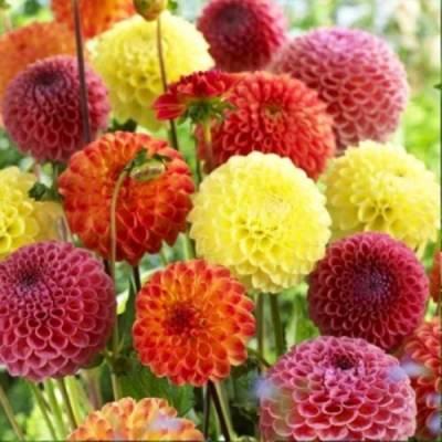 Семена георгины - выбор сорта, посев и проращивание